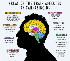 areas-of-brain-affected-by-cannabinoids