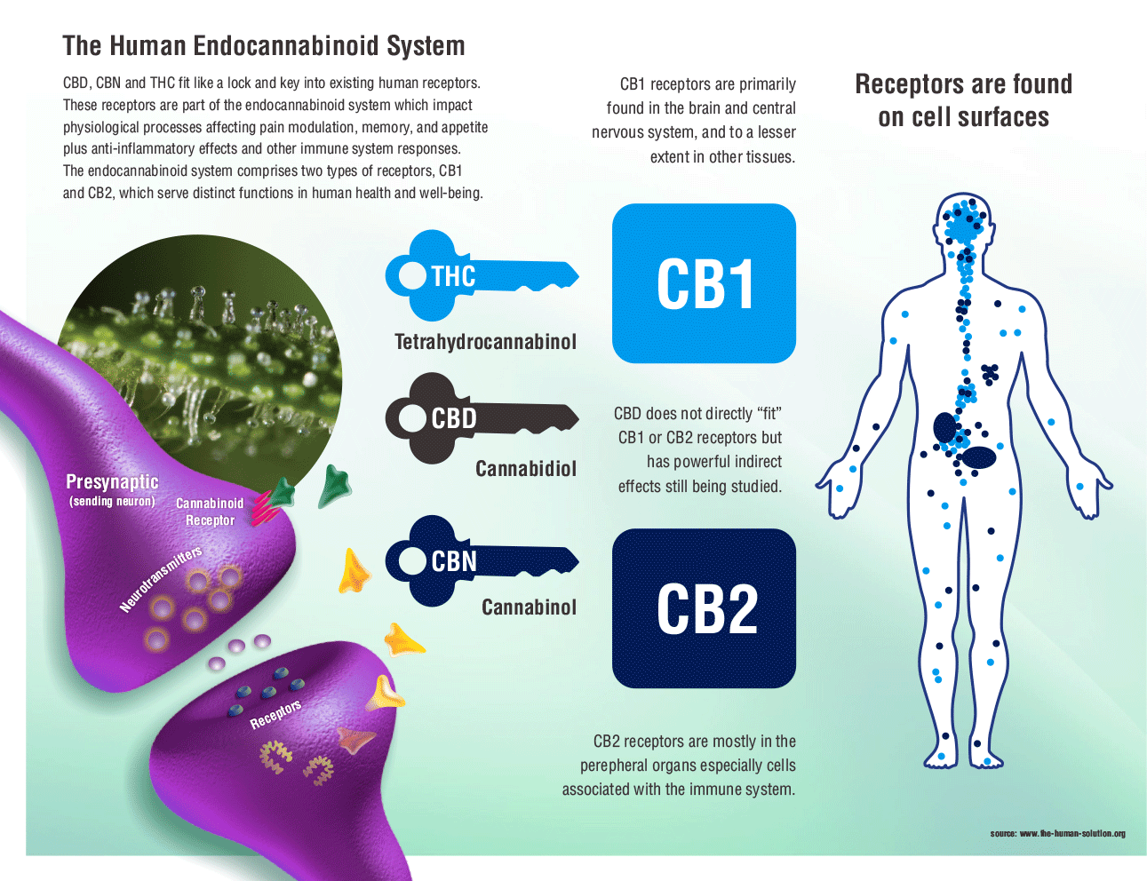 What Are Cannabinoid Receptors